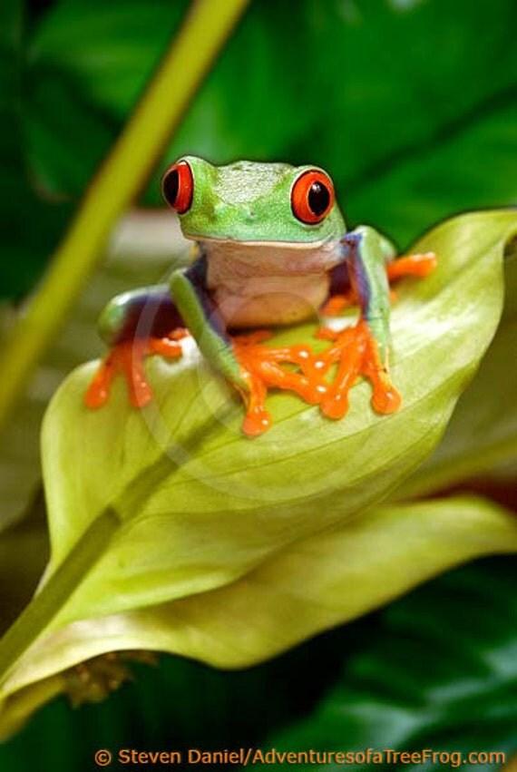 Tree Frog Art Red Eyed Tree Frog on Leaf Frog Art