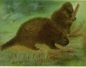 Antique Porcupine Print c-1900 NY State Dept. of Fish & Game Original Lithograph Nature Woodland Forest Animal