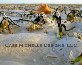 Sand Dollar Photography
