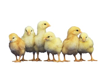Baby Chicks Wall Decal