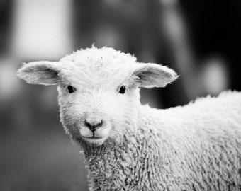 baby farm animal photography nursery art, rustic photography, baby lamb rustic farmhouse decor, country photography, black and white art