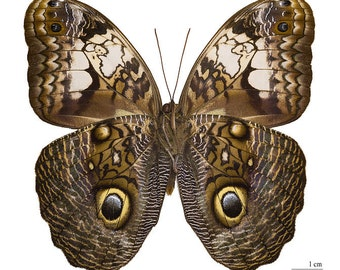 Real Owl (Caligo teucer) Butterfly, Spread for your project or laminated
