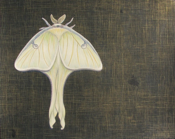 """8.5"""" x 11"""" Print - WHAT THE NIGHT Keeps From You - moth print / luna moth / insect art / insect print / naturalist / archival reproduction"""