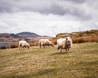 Sheep Photography, Large Landscape Print,  Animal Photography, Country Life Decor, Welsh Wall Art, Wales Photography,Sheep Flock Sheep Decor