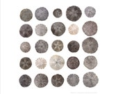 Beachcombing series (No.25) - 8 x 8 photograph - Maine Sand Dollars