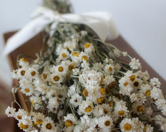 Dried ammobium bunch,  winged everlasting dried flowers, white wedding flowers, white dried flowers