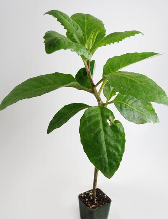 Longevity Plant for Diabetes and High-Cholesterol ( Gynura ...