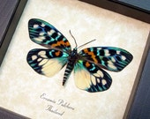 Real Framed Erasmia Pulchera Verso Day Flying Moth 8214V