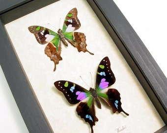 Real Framed Graphium Weiskei Museum Shadowbox Display 229p