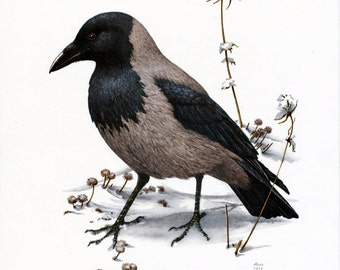 1962 German Vintage Print of the Hooded Crow