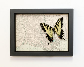 Framed Map of Louisiana with real butterfly Natural History