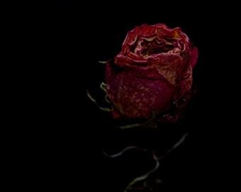 Close up of rose on black background