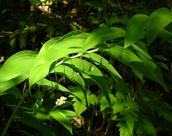 12 King Solomon's-seal ( Polygonatum