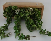 Variegated & Green Hoya Hindu Rope Wall Garden - Mount or Sit - All Natural Living Art - Handmade Hanging Cedar Wood Box Planter
