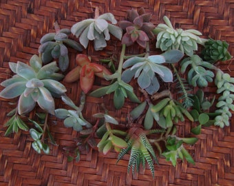 Collection of 10 Succulent Assorted CUTTINGS - Wedding, Guest Favors, Terrarium, Centerpieces, Gardens