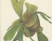 Stag's Horn Fern, 8 x 10, Vintage Botanical Print, Home Decor, Indoor Plant 105, Flower Art, Illustration 1968, Kaplicka