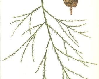 Wellingtonia, Mammoth Tree, Pine Cone, Vintage Print, Botanical Book Plate 60, Evergreen, Nature, Landscape, Frameable Art, 1977, Raymond