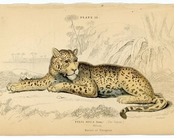 1840 JAGUAR original antique wild cat safari animal print
