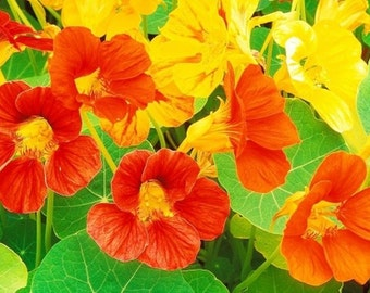 Nasturtium, Whirlybird Nasturtium Seeds | Bold and Vibrant Blend of Colors on Compact Plants