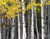 CANVAS: Yellow, Black, and White - Aspen Trees - Crested Butte, Colorado (photograph, various sizes)