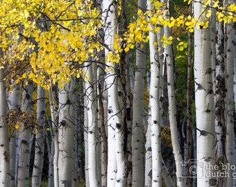 Yellow, Black, and White - Aspen Trees - Crested Butte, Colorado (photograph, various sizes)