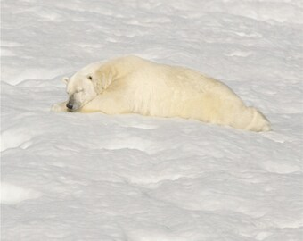 Polar Snooze - A Special Notecard - Canadian High Arctic Polar Bear- greeting card - stationary