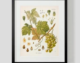 Botanical Illustration Print Plate 51 Grapes