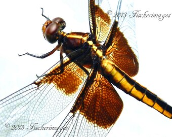 Macro Dragonfly Insect Nature Wall Art Home Decor Digital Download Photo Fine Art Photography