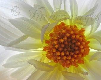 White Macro Flower with Yellow Orange Center Nature Wall Art Home Decor Digital Download Photo Print Fine Art Photography