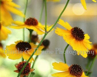 Coreopsis Fields Photographic Print - 5x7 Photo