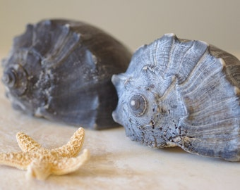 Set of Two Blue  Whelk Seashells - Beach Decor - Seashell Decor