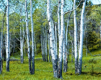 White Birch Trees in a Grove No. 0133 - A Landscape Photograph