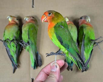 Real stuff birds,taxidermy of birds,green parrots, 5 birds/ set, birthday gift,free shipping to everywhere.