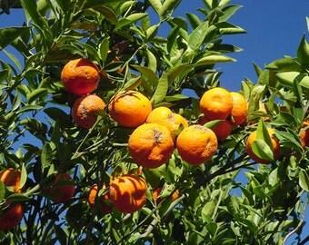 5 Changsa Madarin Tangerine Tree Seeds-1155A