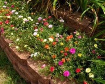 100 Moss Rose Portulaca Grandiflora mix color Ground Cover Seeds