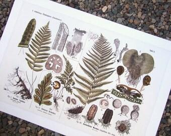 Botanical Educational Chart of Woodland Ferns Archival Print