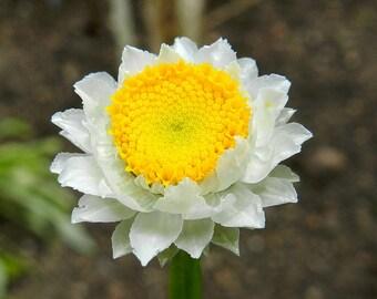 Heirloom 2000 Seeds Winged Daisy Ammobium Alatum Wild Everlasting White Flower Bulk Seeds B0007