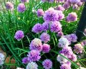 Organic Chive Seeds Herb Garden Seeds Perennial Chive Seeds Allium schoenoprasum Fresh Seed 2015 Crop