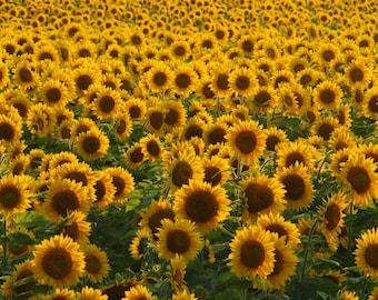 Endless Sunflowers Fine Art Photo Print