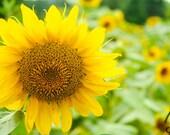 Sunflower Field Photograph, Flower Garden, Summer Photo Art, 8x10 Print,  Frame Available