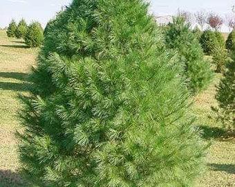 50 Eastern White Pine Tree Seeds, Pinus strobus, Lake States