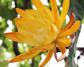 """Epiphyllum """"French Gold"""" Cutting- will produce LARGE YELLOW flowers"""