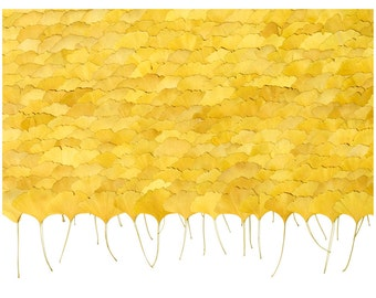Ginkgo Leaves Wall Art – Ginkgo Leaves laid out – Birthday Gift – Autumn Print – Fall Decor – Autumn Photography – Fall Leaves – 21 x 30 cm
