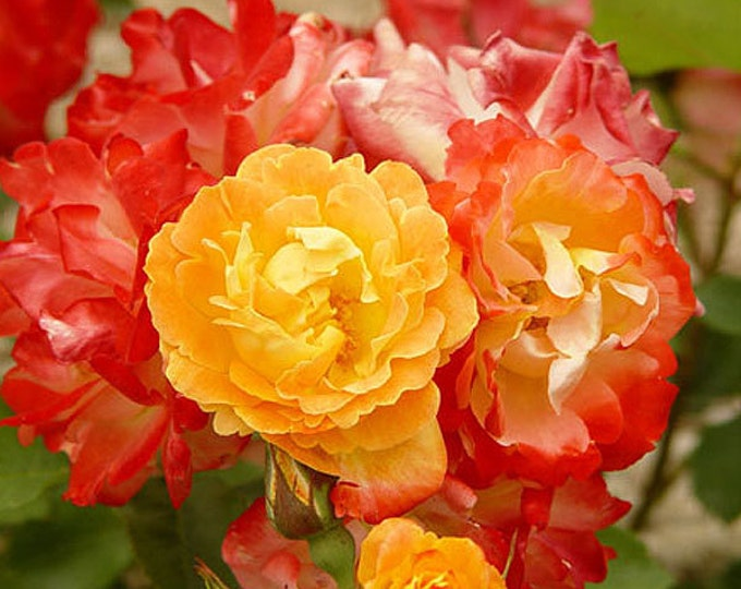 Pinata Rose Bush Fragrant Climbing Rose Apricot Orange Flowers Potted Grown Organic Potted - Own Root Non-GMO