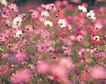 Cosmos  flower seeds,66,cosmea flower seeds,pink white fuksia flower mix,cosmea mix,spring flower,gardening