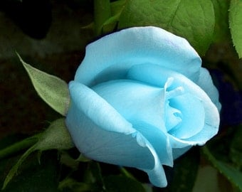 Cyan rose seeds, flower seeds, roses seeds, seeds for roses,roses from seeds,352,gardening