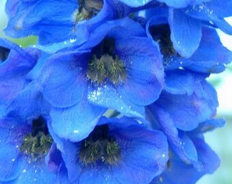 Big flower delphinium seeds,46, spring flower, greek seeds, greek flowers, gardening,