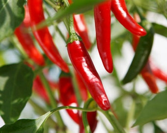 Chili peppers seeds, hot long chili peppers seeds,53,gardening,peppers seeds, peppers,green peppers,red peppers,cayenne's peppers