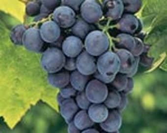 1 rooted plant Grapes cutting, Concord Grapes