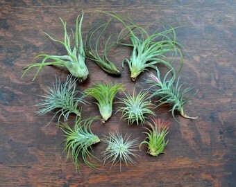 Air Plant Combo Pack-10 Tillandsias - FREE SHIPPING!